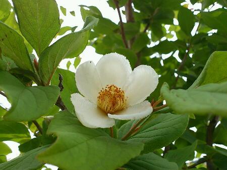 姫シャラの花